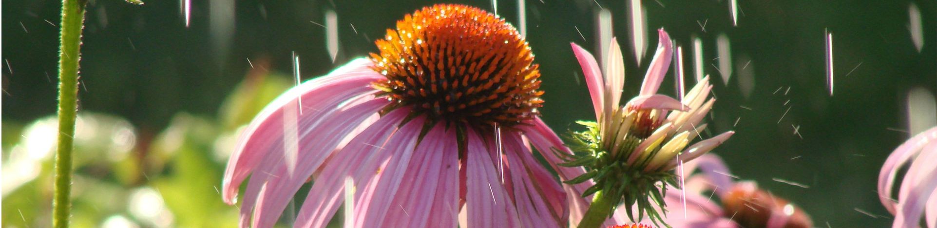 Třapatka-nachová-Echinacea-purpurea