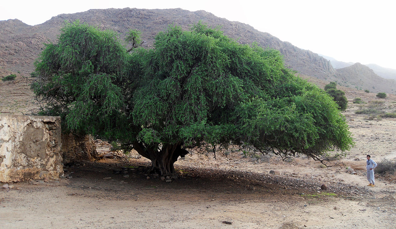 Very_Big_Argan_Tree